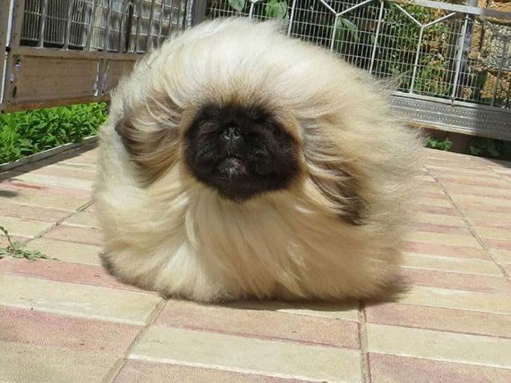 Buy Pekingese Puppies For Sale in Pascoag, Rhode Island USA