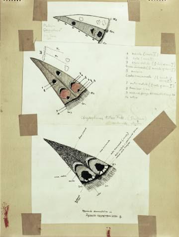 Compartativa de los esquemas de máculas en 'Cells M3' y 'CuA1' en el revés de las alas traseras, incluido en el archivo Vladimir Nabokov en la colección Berg, New York Public Library.