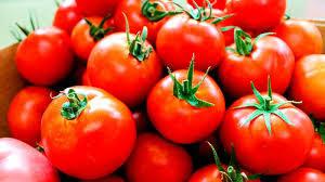 Más de mil 300 toneladas de tomate fueron cosechadas desde enero hasta la fecha en la provincia de Ciego de Ávila para la industria, los mercados agropecuarios estatales y los puntos de venta, una de las mejores campañas hortícolas que deberá concluir en el mes de abril.