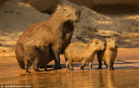 Largest Rodent On Earth and Expert Opinion: Giant Rats Could Take OverEarth After Next Mass Extinction INFORMATION NIGERIA