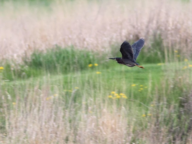 Green Heron in flight 20130509