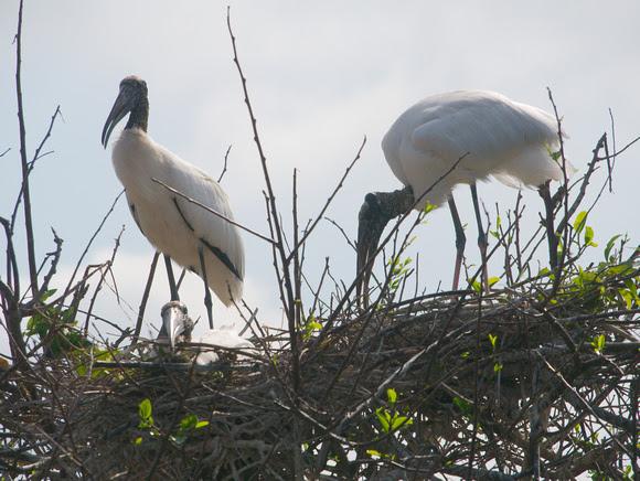 Ed Gaillard: birds &emdash; Wood Storks at nest, Wakodahatchee Wetlands, Florida