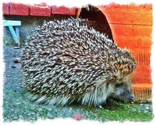 hedgehog drop inn