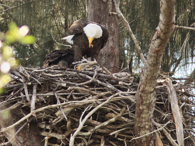 Bald Eagle feeding eaglet 20140117