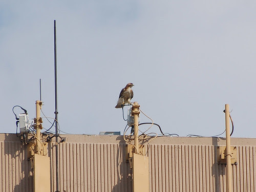 Red-Tail on West 110th