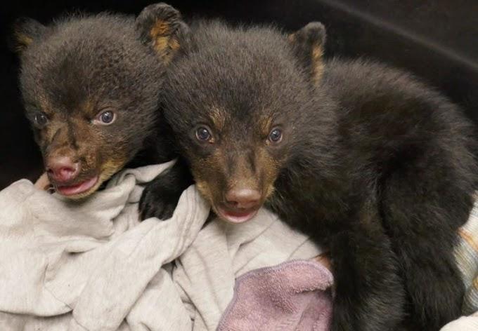 Un par de ositos bebés temían por su vida dentro de una cueva pero gritaron como más pudieron