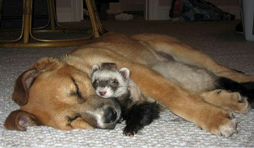 Friendship animals.  Dog and ferret