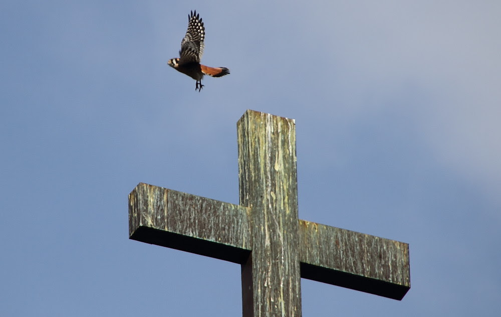 Kestrel_Cross