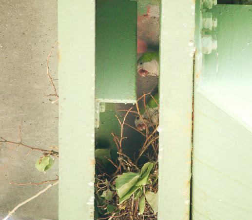 Ed Gaillard: birds &emdash; Monk Parakeets, Henry Hudson Parkway