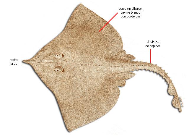 Resultado de imagen de Rostroraja alba