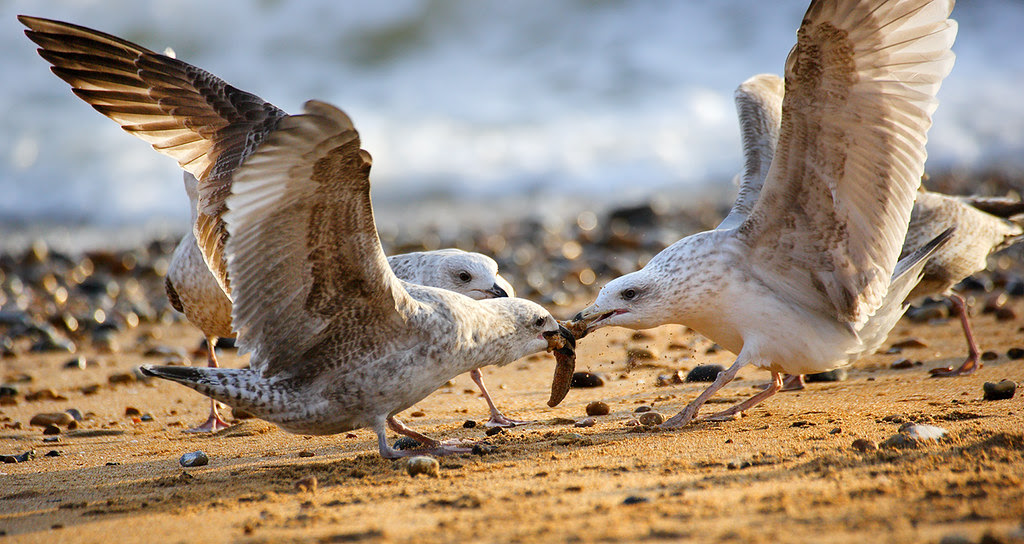 Gulls tearing a Common Seastar apart