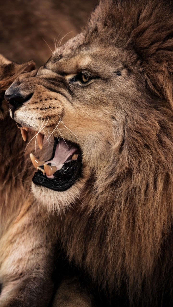 Best Angry Lion Images Hd Download - work quotes
