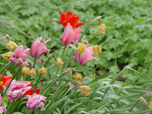 driedtulips