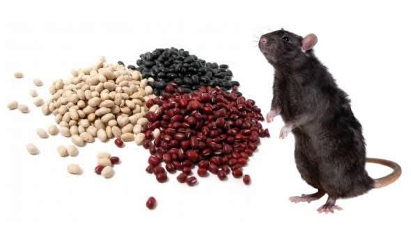 farinha de feijao mata rato