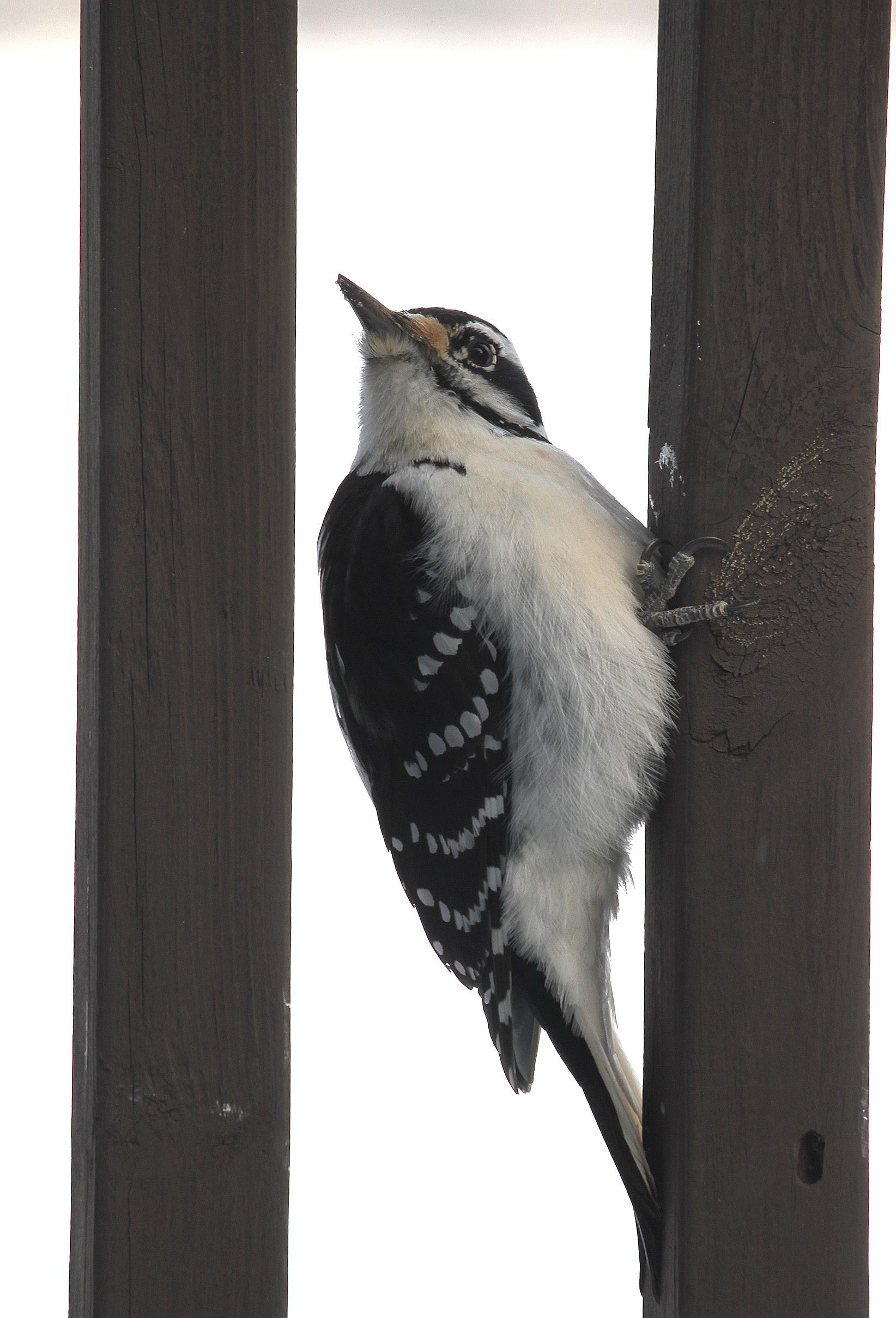 Hairy Woodpecker6