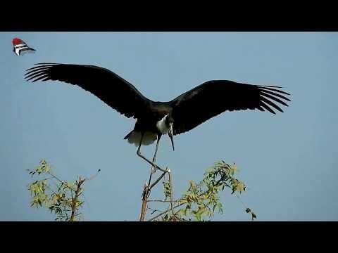 Woolly-necked Stork - art of balancing