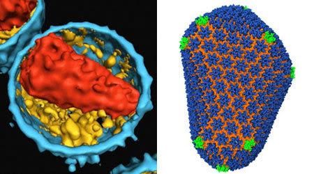 HIV, lớp vỏ protein, capsid, giải mã, cấu trúc