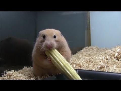 Videos hamster com