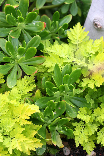 that succulent i can never remember the name of and tanacetum aureum