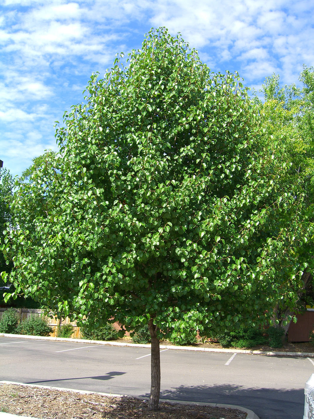 Pear Cleveland Flowering For Sale In Boulder Colorado