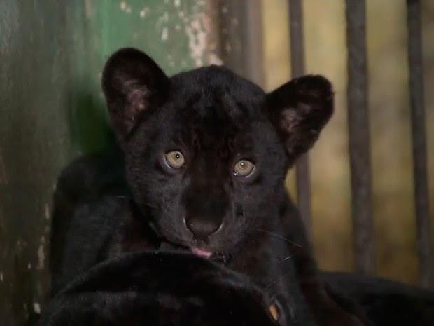 Fêmea de onça-preta que nasceu no zoológico de Salvador terá nome de atleta baiana, bahia (Foto: Reprodução/ TV Bahia)