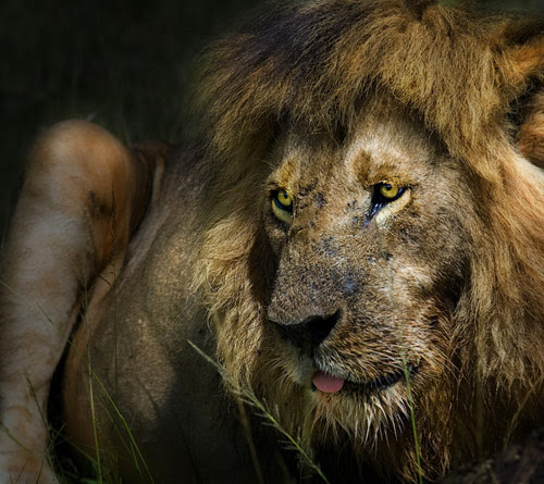 Lion Photography | showme design