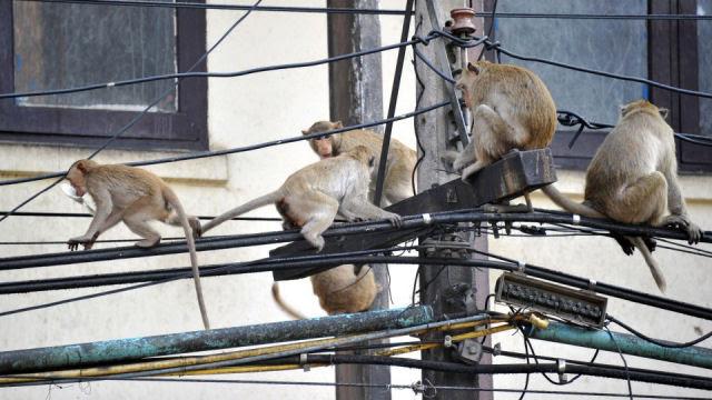Macacos estão comendo cabos de fibra óptica na Índia