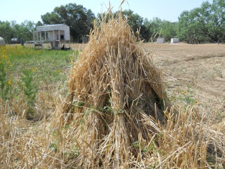 Gathering the 2012 Wheat Sheaves into Stooks