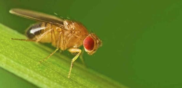 A mosca de fruta (Drosophila melanogaster): mais coisas em comum com vermes e humanos do que se imagina