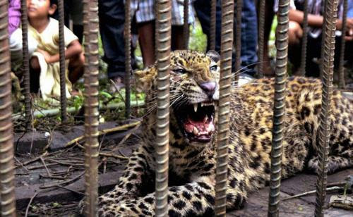 Indian bare hands coped with leopard 3 June 2012 another wild beast wounded 13 people in the town of Tinsukia in Assam.