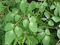 Foliage. D.Scandens