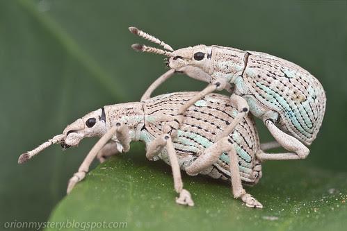 weevil weevil rock you, mating pair of weevils IMG_8182 copy