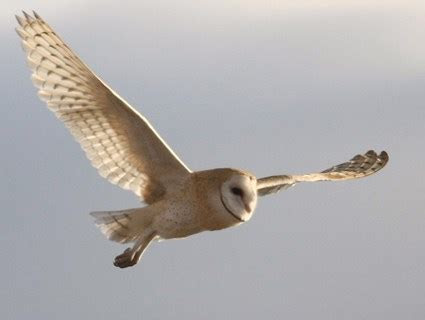 Barn Owl, Identification, All About Birds   Cornell Lab of Ornithology