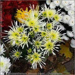 Chrysanthemum 'Vesuvio Green' - Chryzantema