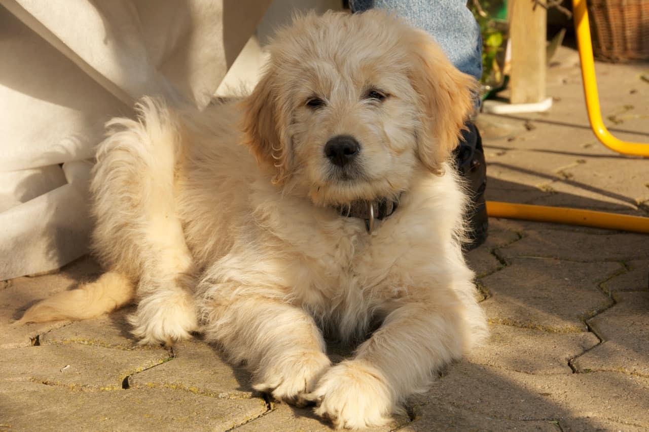 Goldendoodle, a Golden Retriever Poodle Mix  SpockTheDog.com
