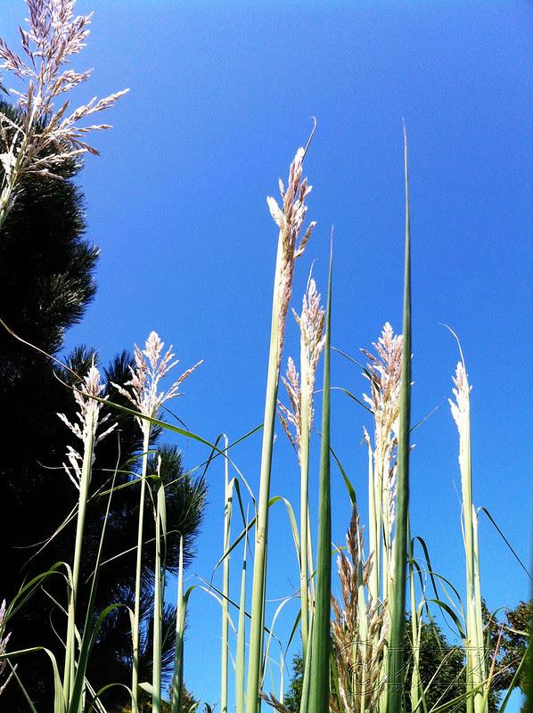 IMG_0269 Pampas Grass