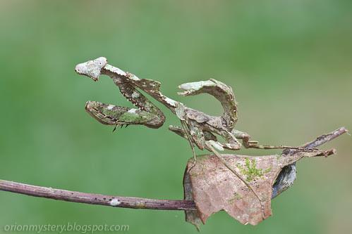 A female <i>Deroplatys labata mantis </i>IMG_6048 copy