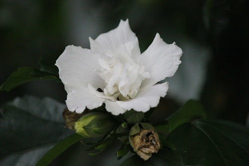 IMG_0761_White_Rose_of_Sharon_Blossom