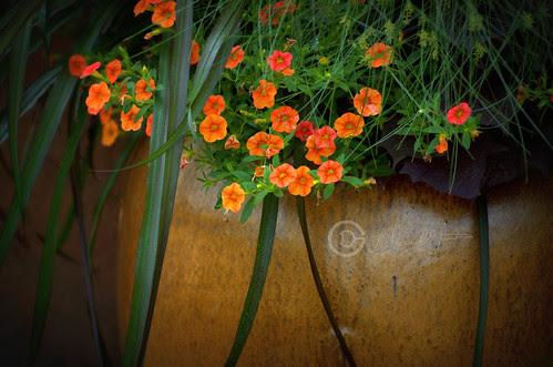 Orange flowers in pot by † David Gunter