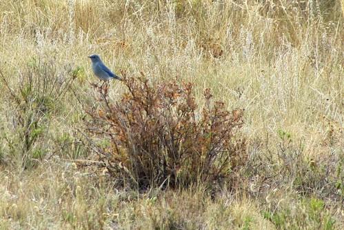 IMG_6353_Bluebird_Rocky_Mountain_National_Park