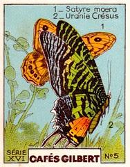 gilbertpapillons008