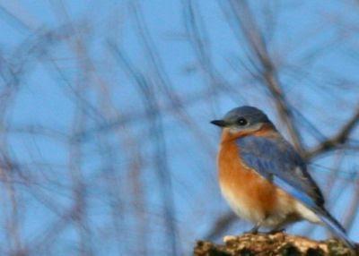 photo cccbc-eastern-bluebird.jpg