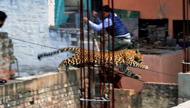 In this Sunday, Feb. 23, 2014 photo, an Indian man moves out of the way of a leopard in the northern Indian city of Meerut, India. Forestry officials and police armed with tranquilizer darts searched for a leopard that injured six people in the northern Indian city, creating panic and driving people indoors, police said Tuesday.