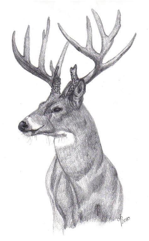 whitetail buck drawings whitetail buck  cbp
