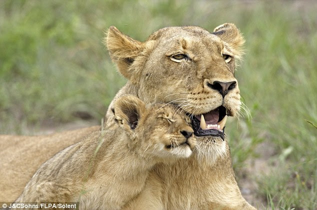 I love you so much, mum! The cub cuddles up to his mother, who looks as if she can't resist a smile