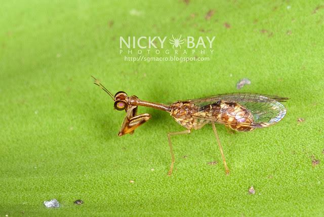 Mantisfly (Mantispidae) - DSC_0089