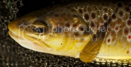 photo Autumn_Trout6_zpsmvlbr4yf.jpg