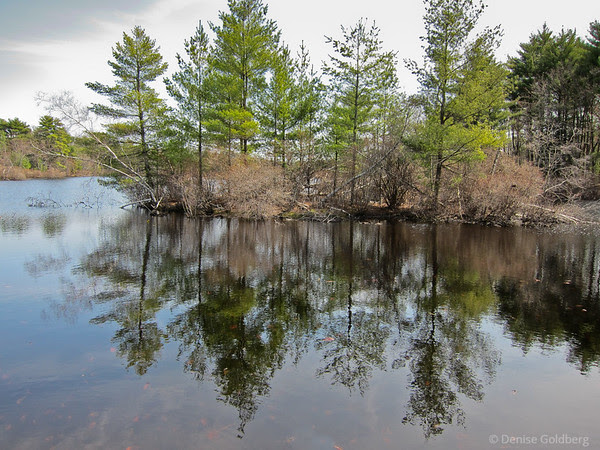 reflections in a pond, trees