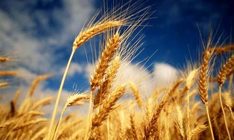 Ears of wheat growing in a field