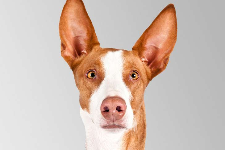 Ibizan Hound Dog Breed Information  American Kennel Club